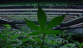 cannabis_edited_edited_edited.jpg