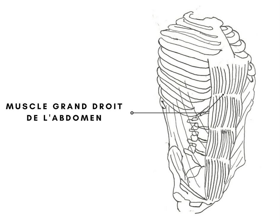 Muscle grand droit de l'abdomen