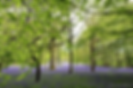 Bluebells watermarked.png