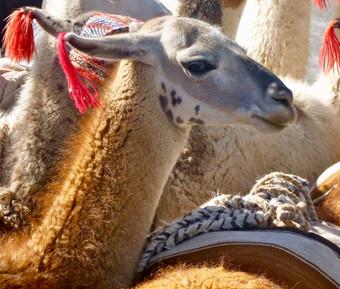 Lama, Pérou