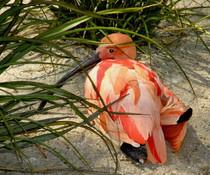 Ibis rouge, Australie