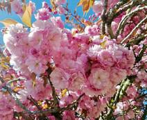 Cerisier du Japon, Vouvant