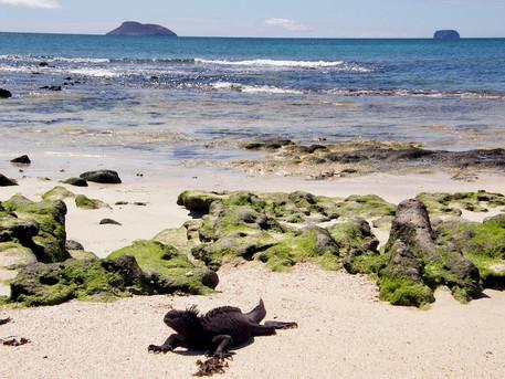 Iguane, Galapagos