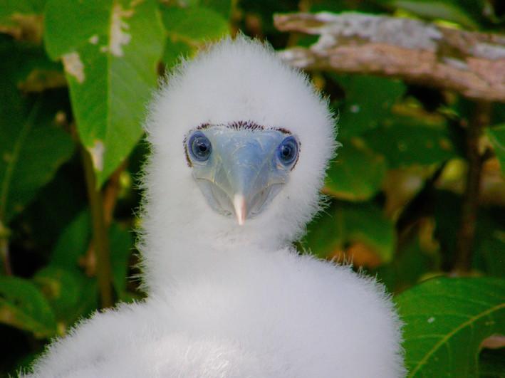 Fou à pieds-bleus, Tuamotu
