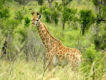 Giraphe, Afrique du Sud