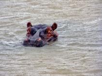 Hippopotame, Afrique du Sud