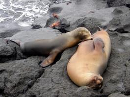 Otaries, Galapagos