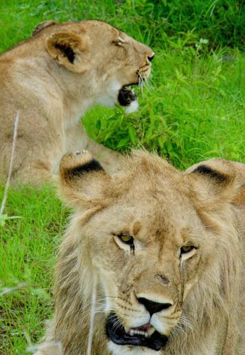 Lion, Zimbabwe