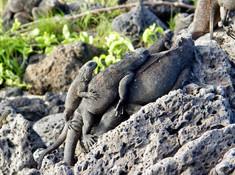 Iguane,Galapagos