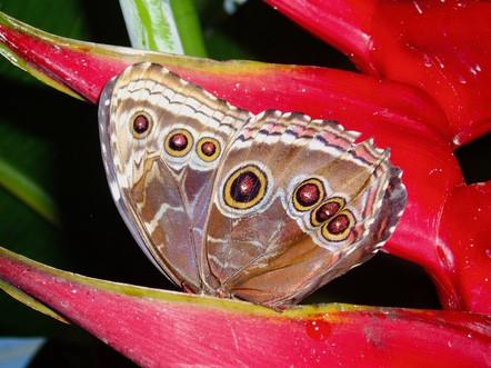 Papillon, Canada