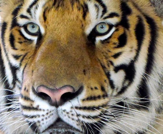 Tigre, Thailande