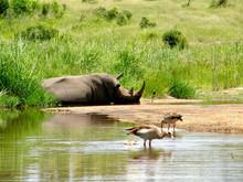 Rhinocéros, Afrique du Sud