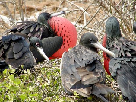 Frégates, Galapagos