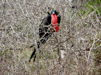 Frégate, Galapagos