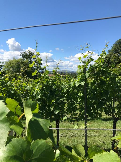 Through the Vines