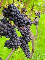Pinot Noir Grapes.jpg
