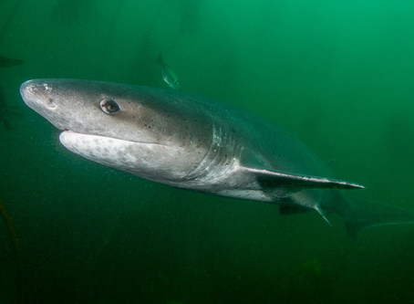Sharks as an important conservation tool in South Africa