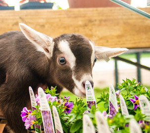 Baby goat with flowers