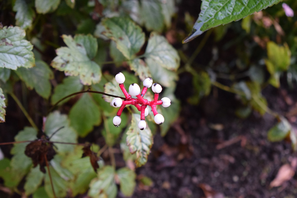 Actaea pachypoda 'Misty Blue'. Granted this isn't its flower, but adds Autumn interest.