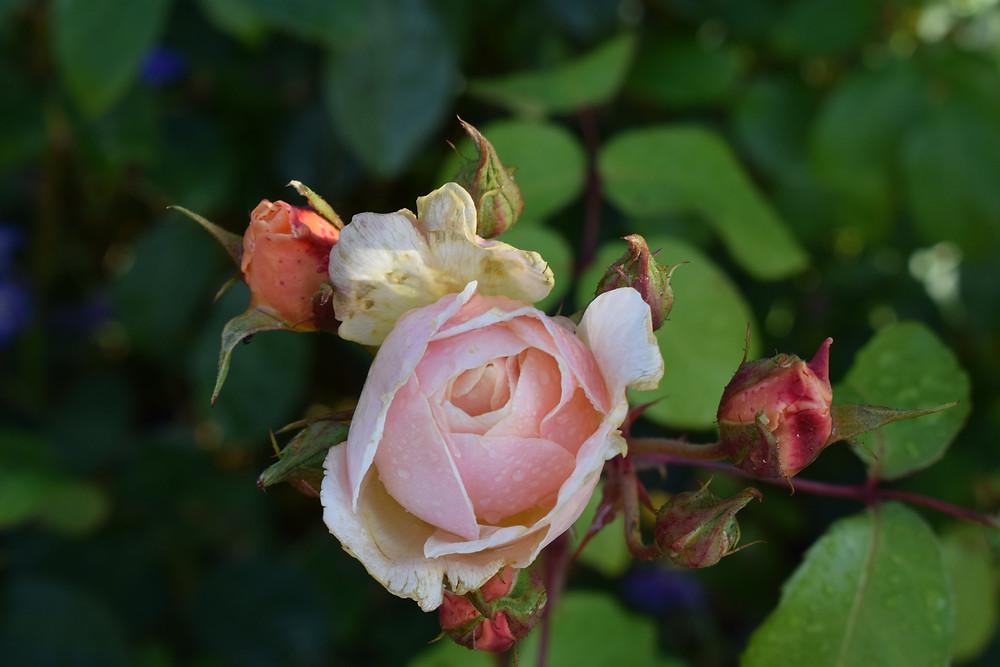 Rose 'Sweet Juliet'.
