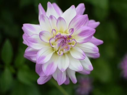 Flowering in August
