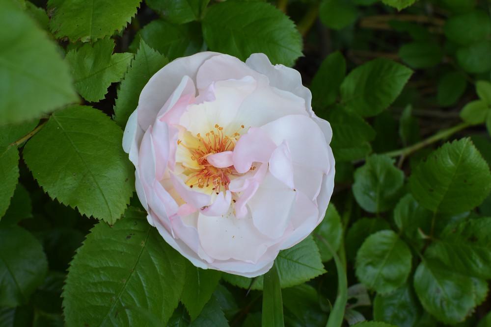 Rosa Jacqueline du Pre
