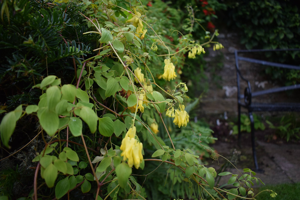 Dicentra scandens scambling over yew hedging.