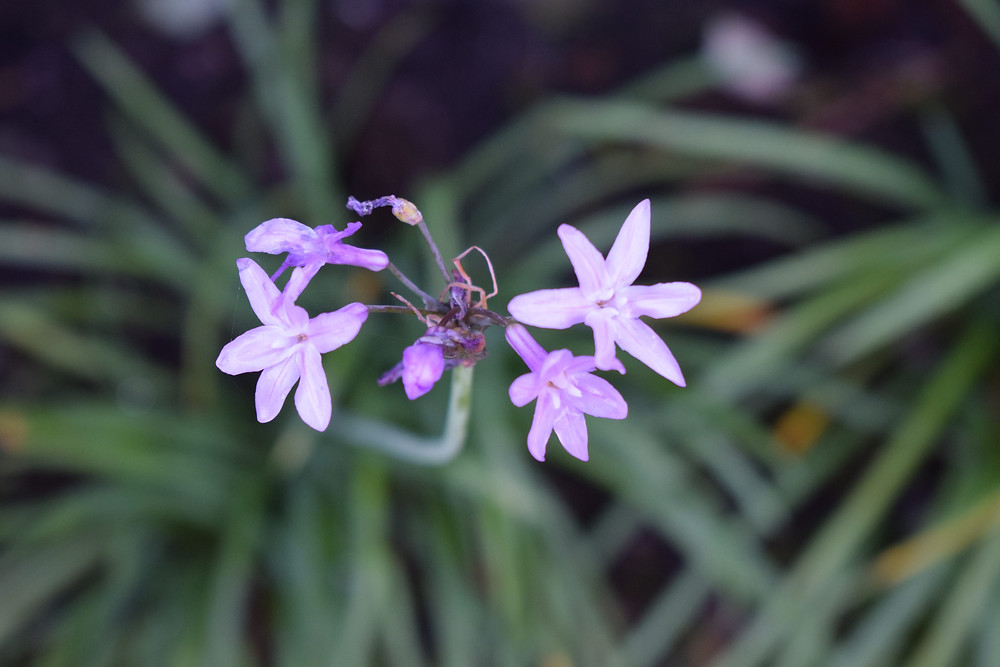 Tulbaghia 'John Mays Special'
