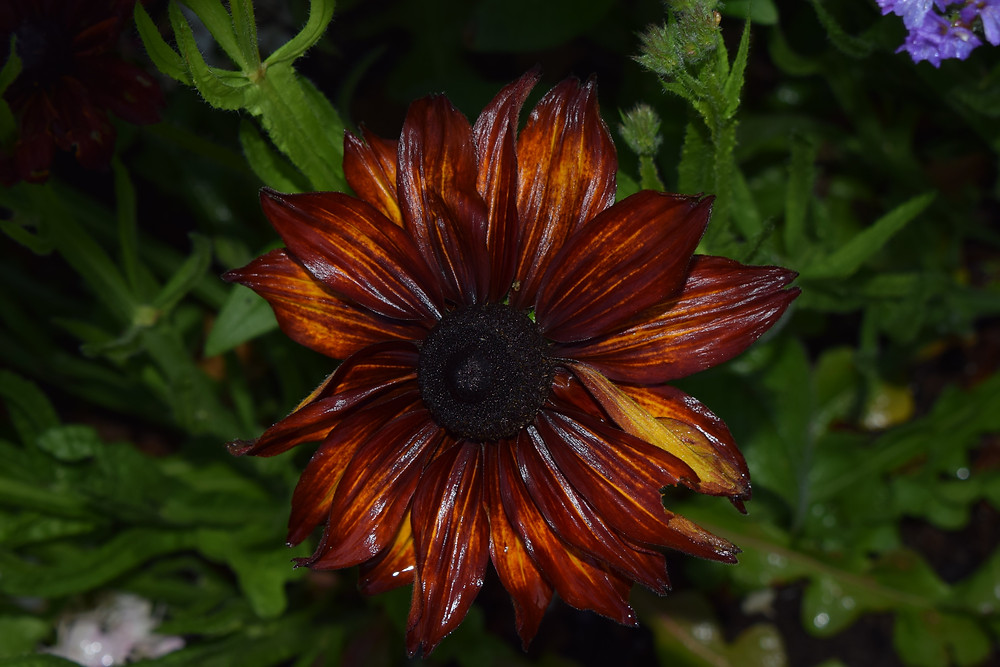 A new Rudbeckia for us this year, Cappuccino'.
