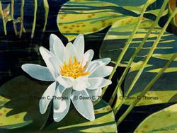 Missouri Morning Lily