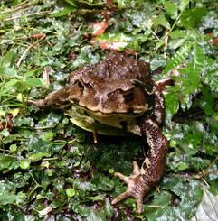 裏の蛙.jpg