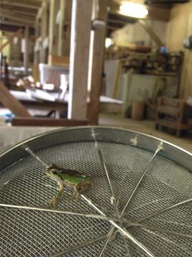 家の蛙6.jpg