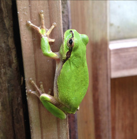 家の蛙.jpg