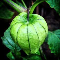 Green Tomatillo