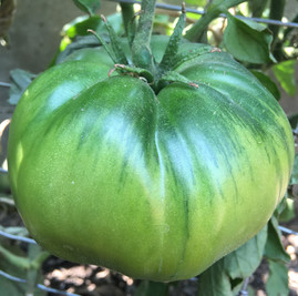 Cherokee Green Heirloom