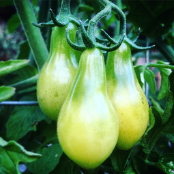 Yellow Pear Heirlooms