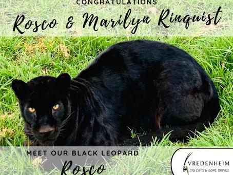 A Black Leopard Named Rosco