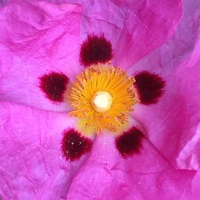 pink 5 point flower square crop.jpg