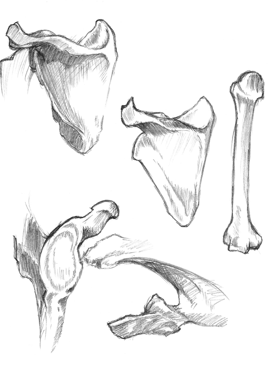 anatomy study 3