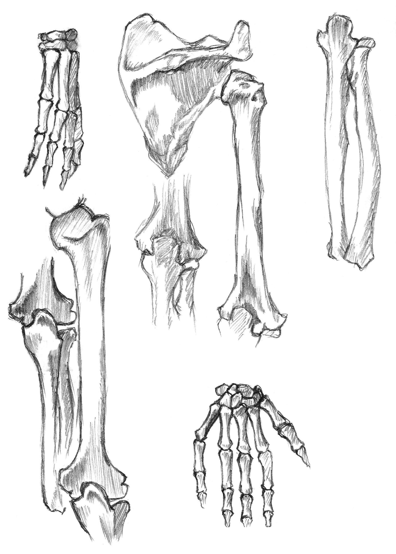 anatomy study 5