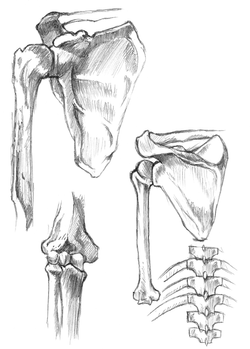 anatomy study 2