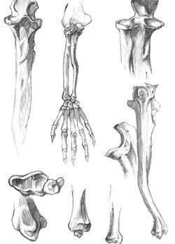 anatomy study 4