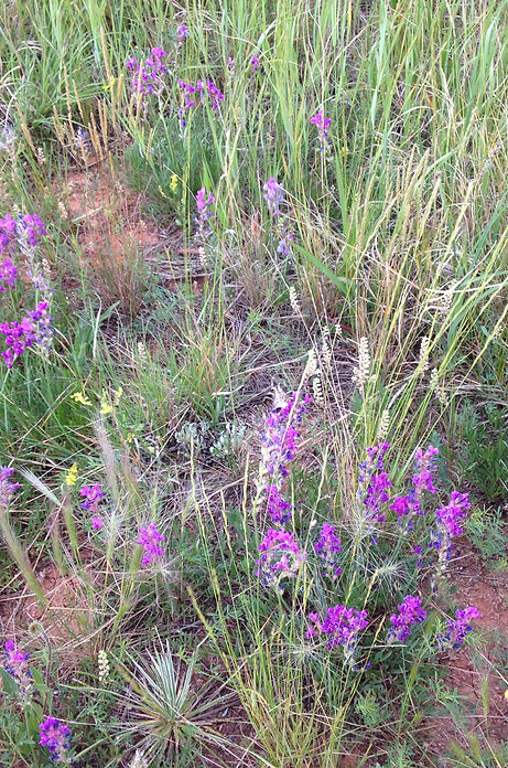 Wildflowers in the Badlands