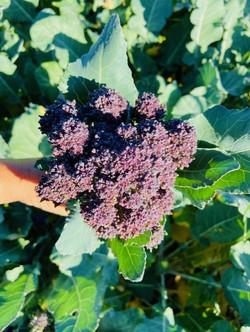 purplebrocolli