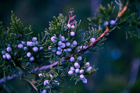 30102020-pine-5411515_1920.jpg