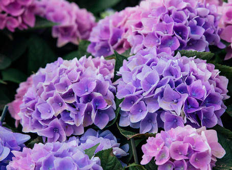 When to prune your Hydrangeas?