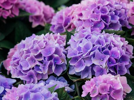 When to prune your Hydrangeas?
