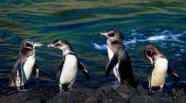 pinguinos-de-las-galapagos.jpg