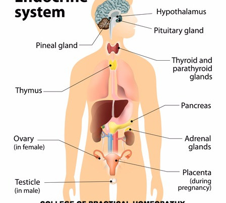 Understanding The Endocrine System