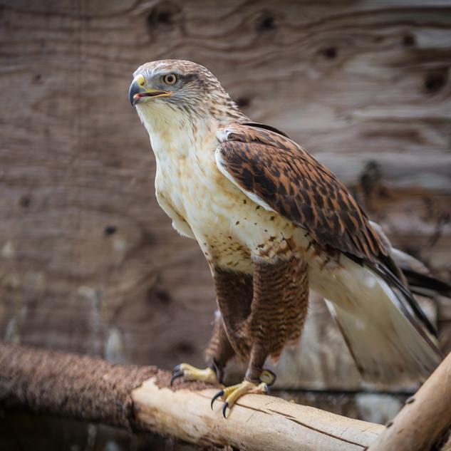 Pharoah the Ferruginous Hawk
